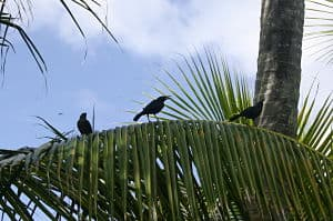 Caribbean blackbirds on nearby Sandy Island