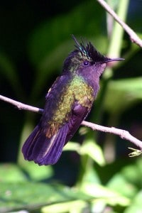 400px-Antillean_crested_hummingbird-200x300