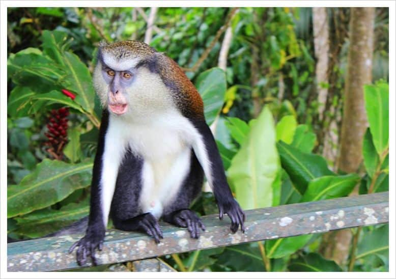 The mona monkey in Grenada