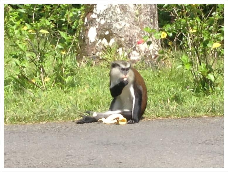 Mona Monkey of Grenada