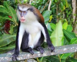 5 Facts About the Mona Monkey of Grenada