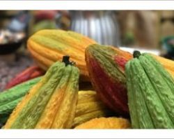 How to Make Cocoa Tea and Other Amazing Cacao Facts