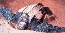 An Open Letter to People Who Have Never Seen a Leatherback Turtle Nest